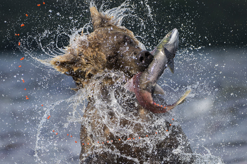 Sockeye catch by Valter Bernardeschi.