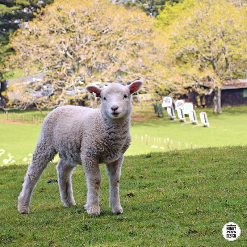 cornwallpark-lambs041